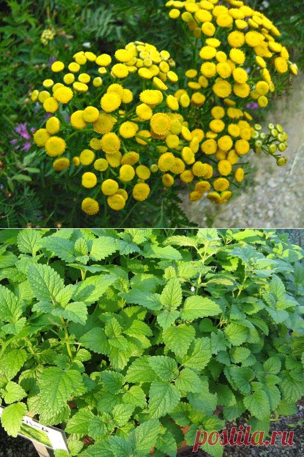 Если вы хотите избавиться от комаров, начните выращивать эти растения на дачном участке!