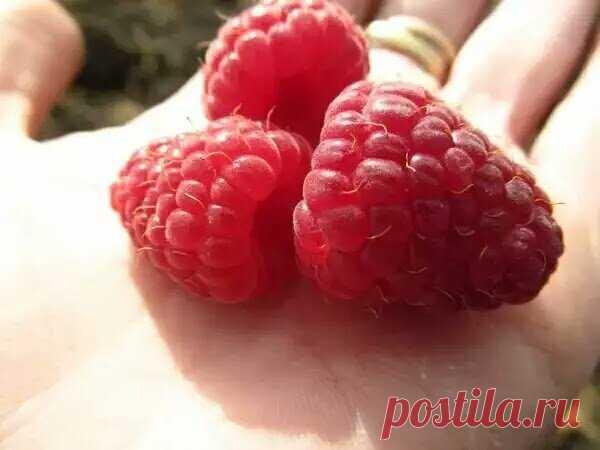 Мое выращивание малины в ошибках: 5 промахов, снижающих урожай. Век живи, век учись | 6 соток