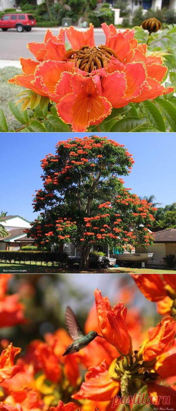 Африканское тюльпанное дерево или Спатодея колокольчатая