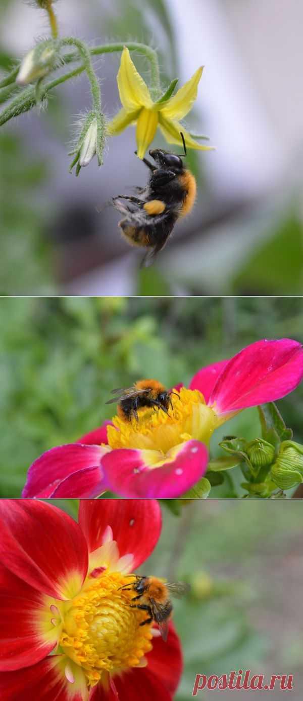 (+1) тема - Шмели - труженники наших садов. | САД НА ПОДОКОННИКЕ