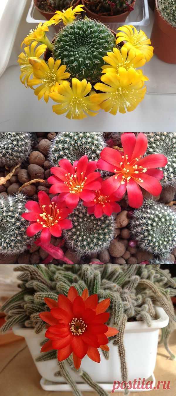 Любители кактусов трепещите! Цветение кактусов