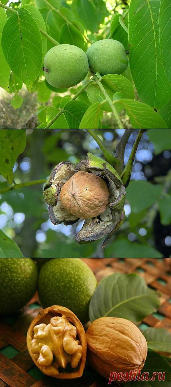 Самый полезный среди орехов - грецкий орех..
