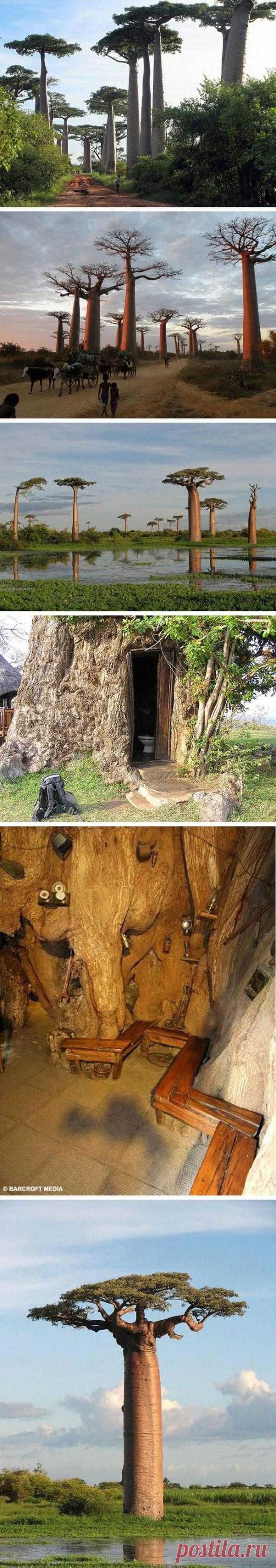 Баобаб. Дерево, в котором можно жить! Африка