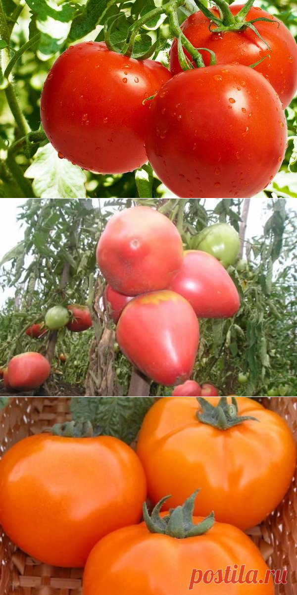 территории сорта помидор для теплиц с картинками российских