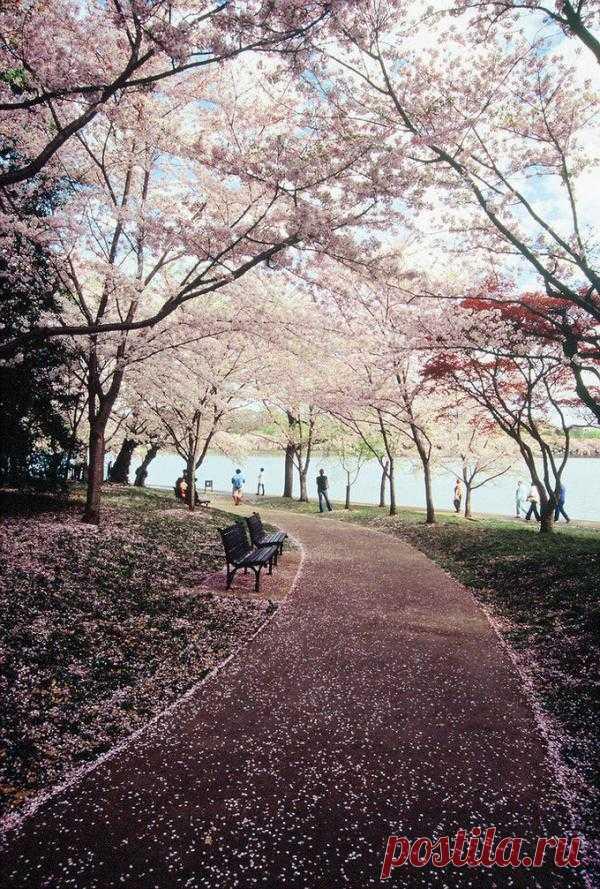 """Весна! Цветет черешня и осыпает землю своим """"весенним снегом"""""""