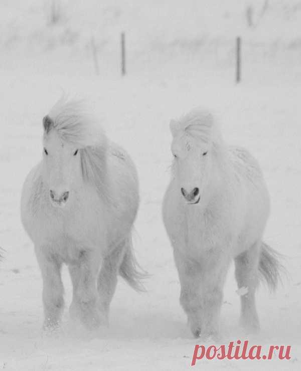 Magnificent white ponies on white snow