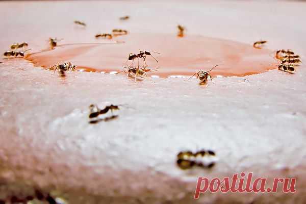 Нашествие «сумасшедших» муравьев в США