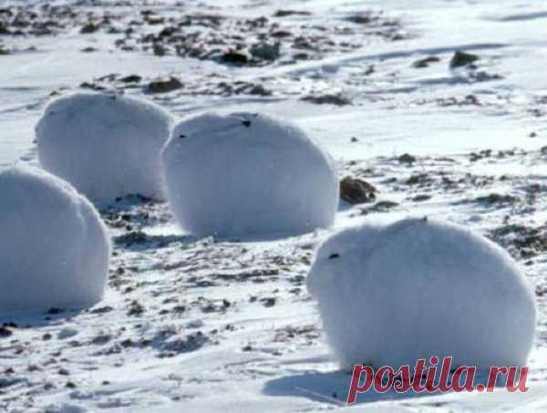 Арктические зайцы. Хоолодно-то как!