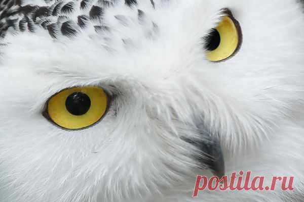 Snowy Owl Eyes  Free Stock Photo HD - Public Domain Pictures