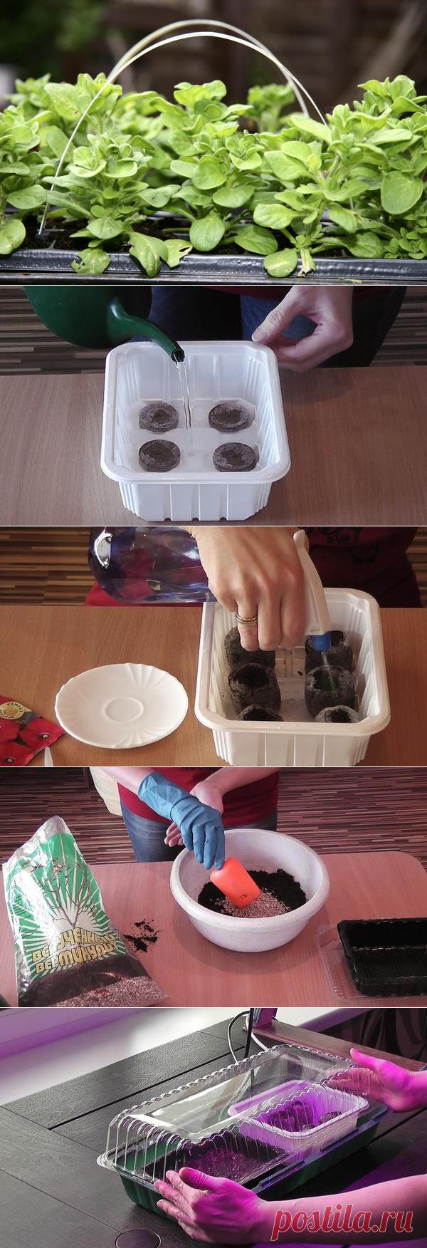 как посеять чернобривцы на рассаду