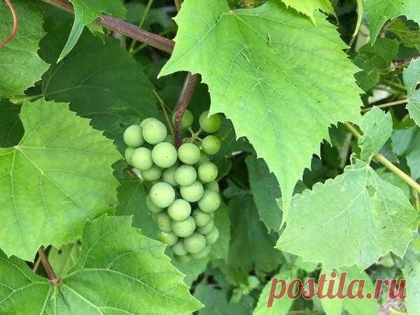 Как вырастить вкусный виноград в Подмосковье: 7 простых секретов