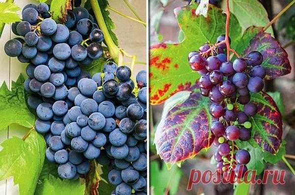 Сорта винограда для средней полосы. Формирование лозы