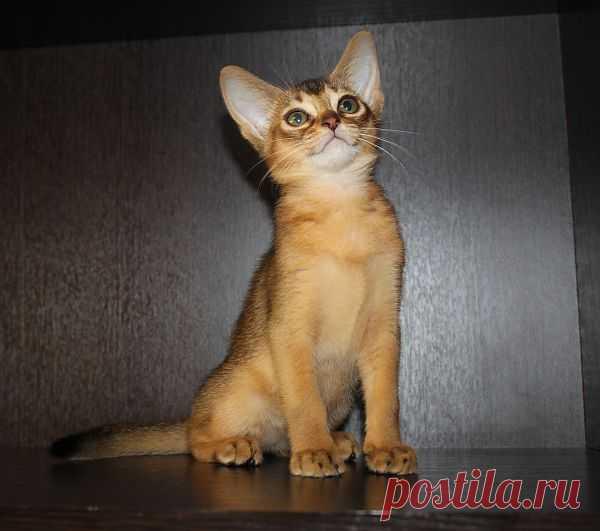 Абиссинская кошечка BUOZI