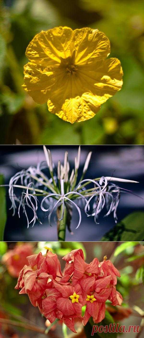 Цветы Андаманских островов.