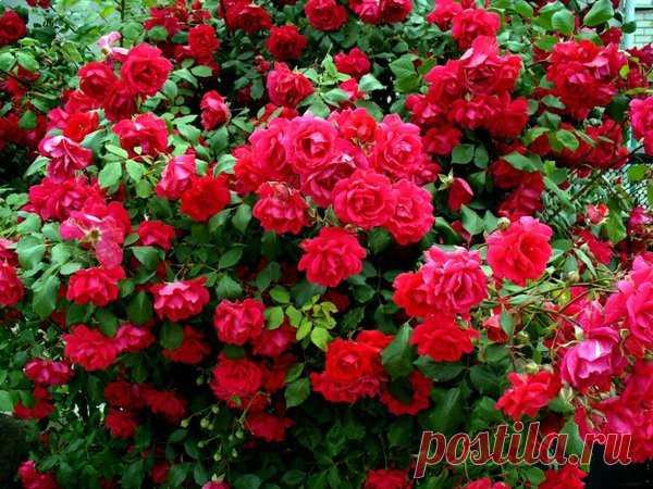 Чем подкормить розы весной для пышного цветения в саду: пошаговая инструкция | Дачный уход | Яндекс Дзен