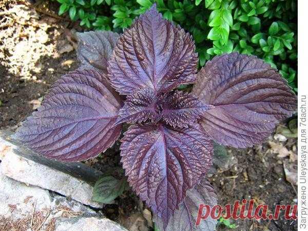 Перилла кустарниковая: описание, применение, основы выращивания