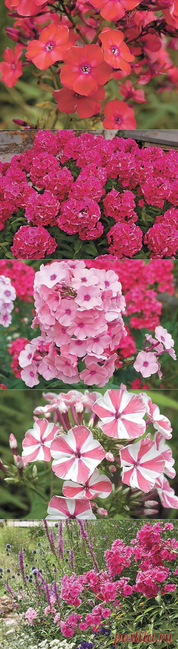 Палитра вашего сада. Яркие флоксы превратят цветник в шедевр - АиФ Дача - Аргументы и Факты