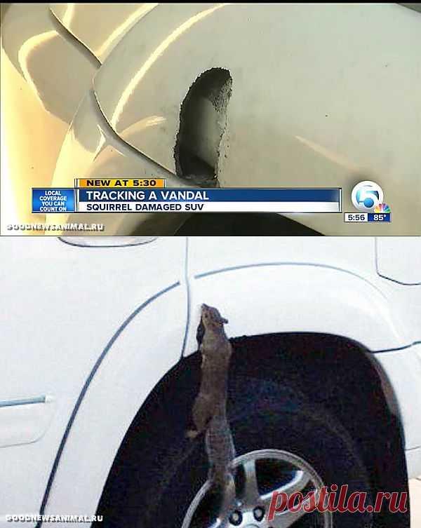 Поедающая автомобили белка найдена во Флориде - Хорошие новости про животных