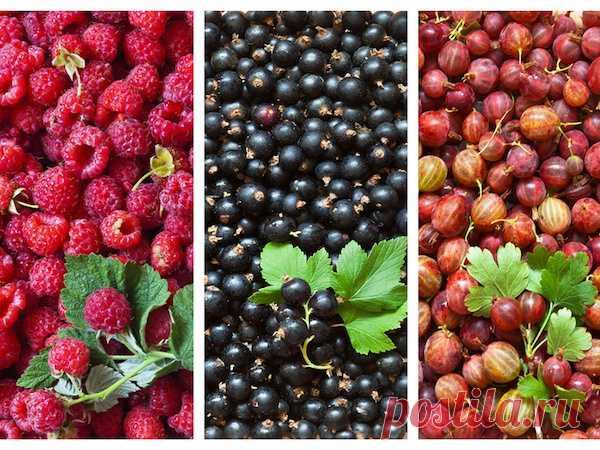 Вот как увеличить урожай малины, смородины и крыжовника в три раза!  Можно ли получать урожаи ягодников в гораздо больших объемах, чем мы привыкли? Это будет сложно, но вполне возможно.  Увеличиваем малину  Чтобы получить больше малины, нужен один простой прием. 30 ию…