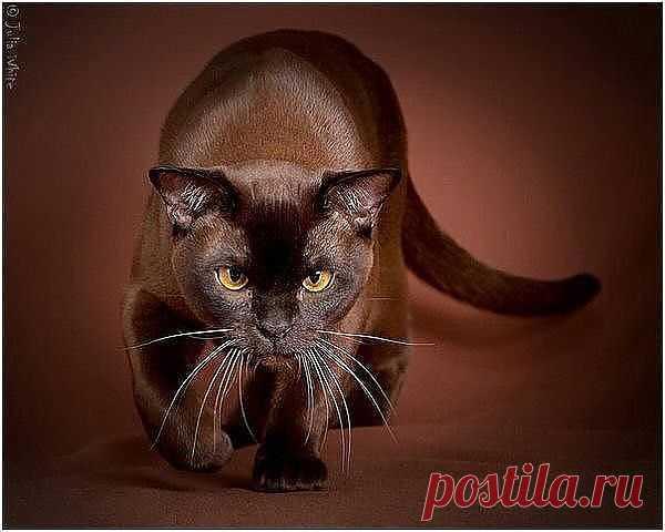 Бирманская кошка.......))))))