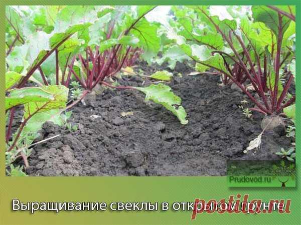 Как получить огромный урожай свеклы | Сажаем вместе! | Яндекс Дзен