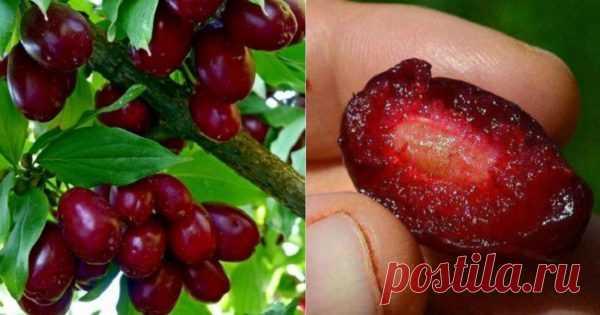 Эти ягоды спасают миллионы людей от самого коварного недуга. Быстрая регенерация тканей организма В садах и на огородах уже созрели долгожданныеягоды кизила. Рынок буквально переполнен торговцами, желающими продать драгоценные плоды, что вполне понятно, ведь эти ягоды — чрезвычайно низкокалорийны…