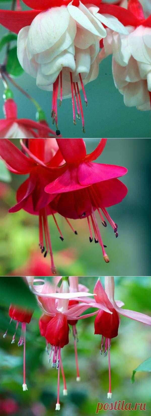 Фуксия - удивительный танцующий цветок