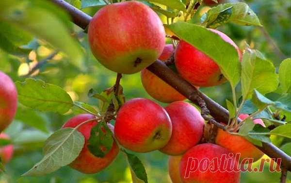 Чем болеют яблони?