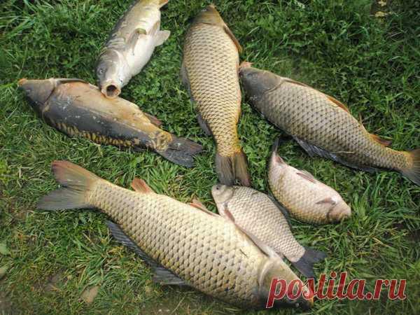 Какая погода больше всего подходит Карасю и Карпу: когда можно наловить много рыбы. | Рыбалка-БЛОГ | Яндекс Дзен