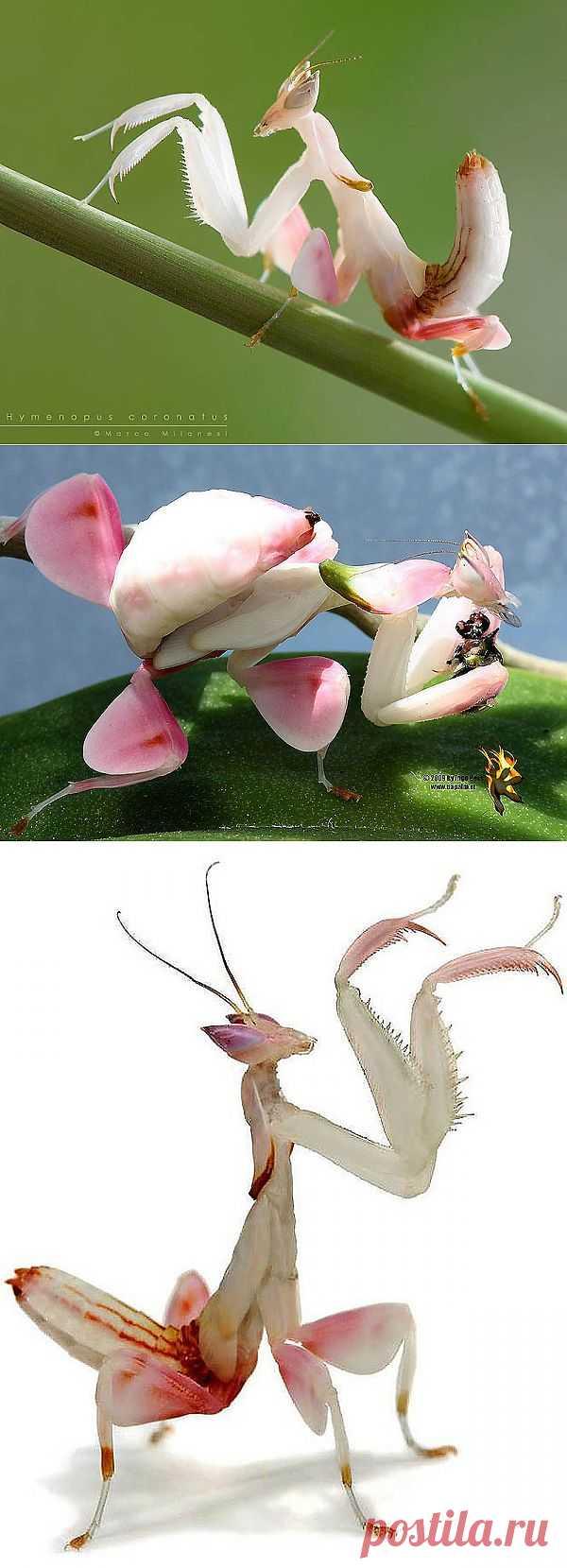 Орхидейные богомолы : НОВОСТИ В ФОТОГРАФИЯХ