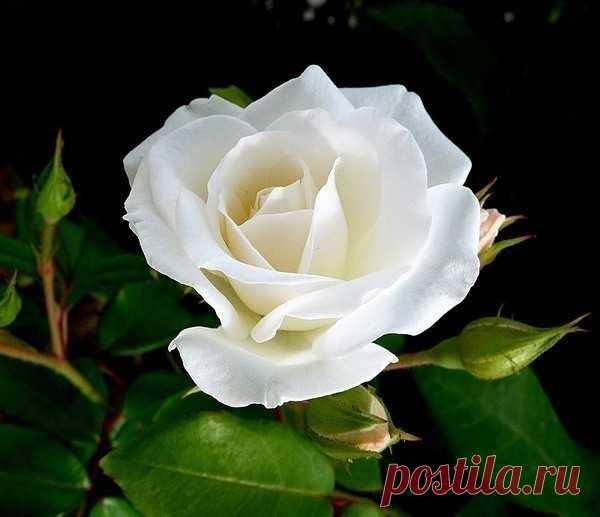 фотографии белых роз гиф научитесь правильно кадрировать