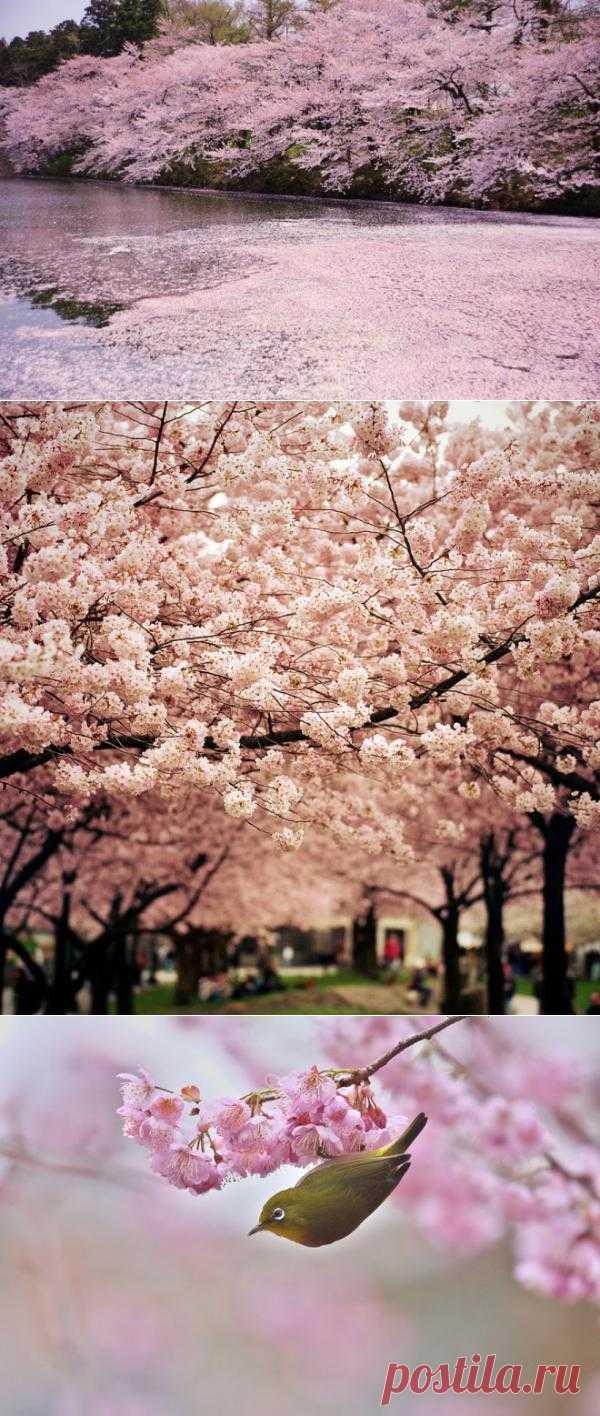 Вишнёвые сады Японии (Часть 2)