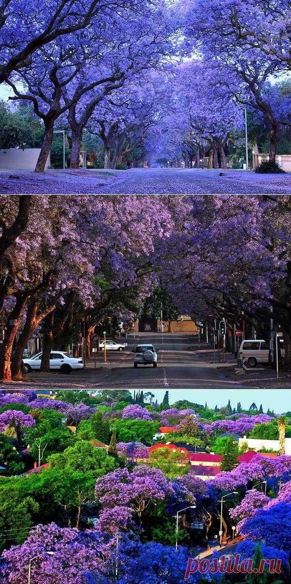 Тысячи одновременно цветущих деревьев на несколько месяцев погружают город Йоханнесбург в фиолетово-голубую дымку, устилая улицы волшебным ковром. В крупнейшем южноафриканском городе эти деревья образуют целые тоннели.