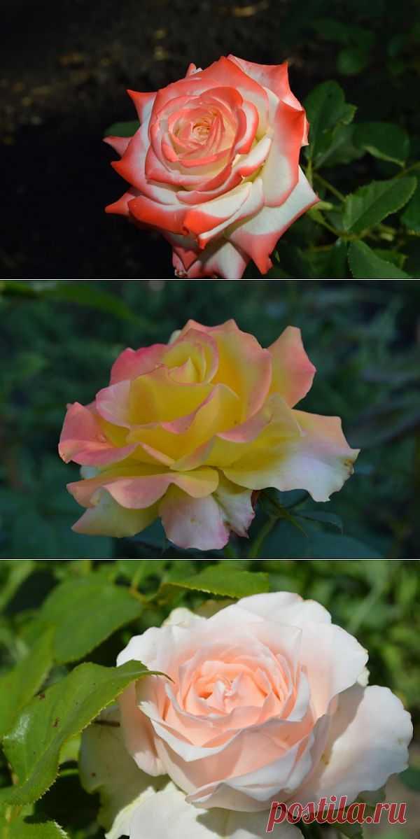 (+1) тема - Разнообразие роз | САД НА ПОДОКОННИКЕ