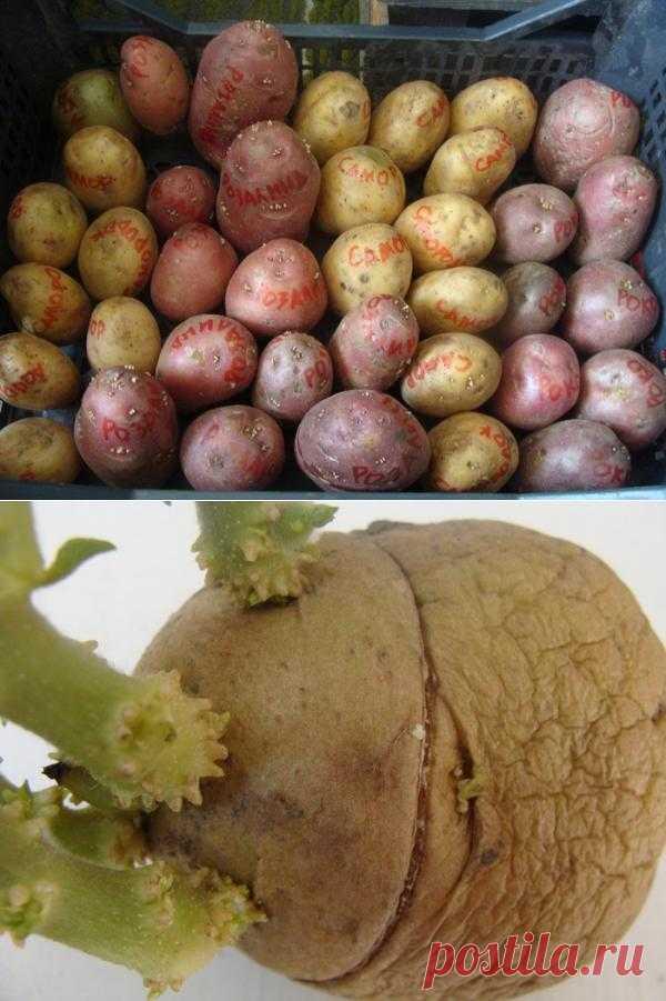 Суперурожайность – правда или миф?.  Ответы на вопросы картофелеводов, мечтающих о рекордных урожаях.