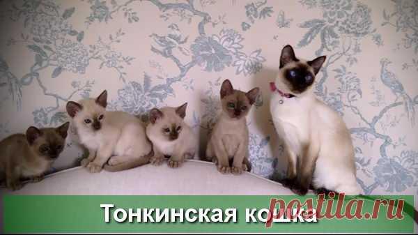 Тонкинская порода кошек - окрасы, описание с фото и видео
