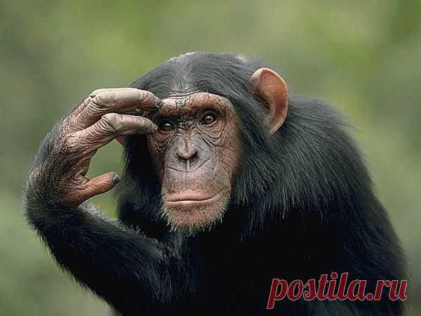 У двух обезьян нашли автобиографическую память