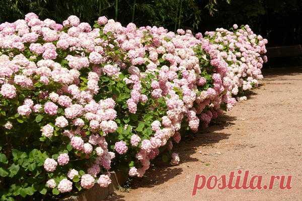 Цветущие живые изгороди. Растения для средних и высоких изгородей. Фото