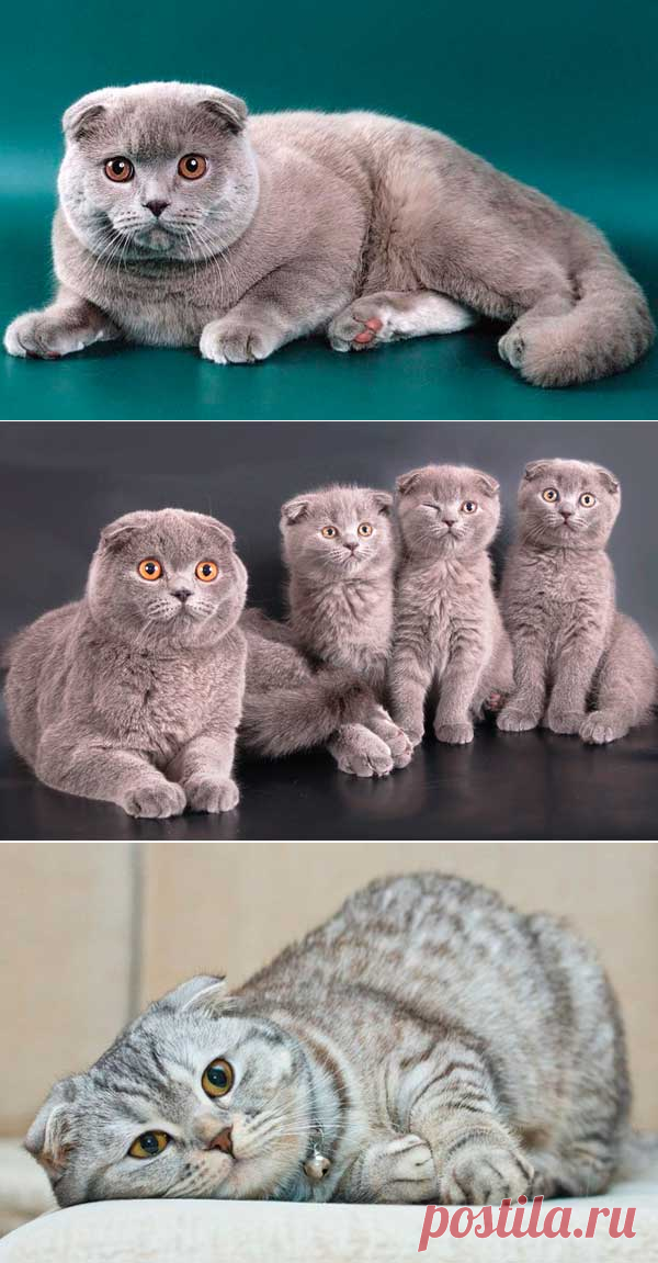 окрасы шотландских кошек картинки и название панели тон