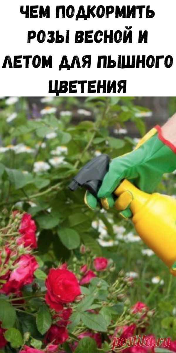 Чем подкормить розы весной и летом для пышного цветения - Счастливые заметки