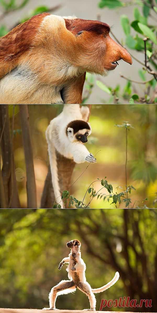 » По следам самых неуловимых приматов в мире Это интересно!