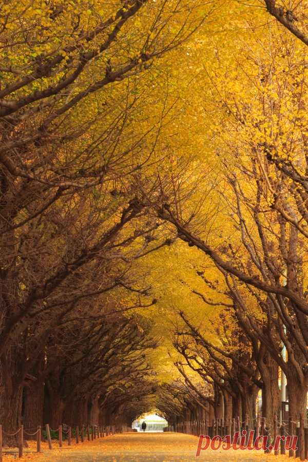 Туннель деревьев. Осенняя сказка. Гинкго, Япония