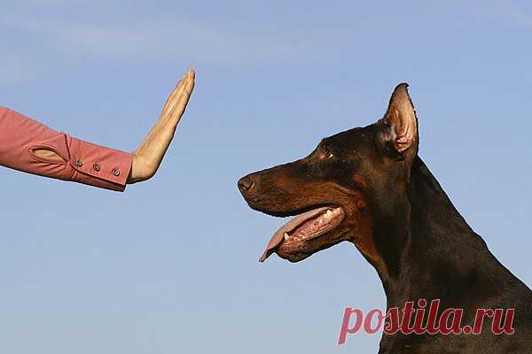 Как научить собаку выполнять команды? «Не бывает плохих учеников – бывают плохие учителя». Помните эту фразу? Она не теряет своей актуальности и в случае с воспитанием и дрессировкой собак. 99% успеха питомца зависят от знаний хозяина и правильности подхода к занятиям. Да, каждая собака индивидуальна, и нередко встречаются четвероногие друзья человека, напрочь отказывающиеся выполнять команды. Но к любому, даже самому капризному питомцу можно найти подход. Главное – быть в...