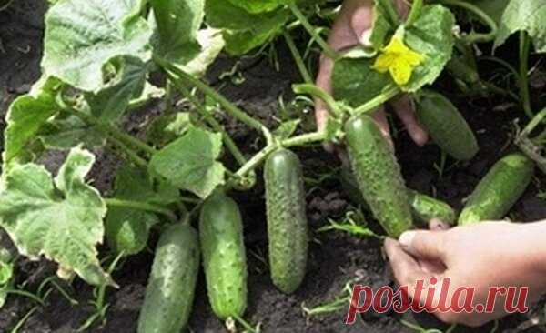 Как заставить огурцы быстро развиваться? Эффективность подкормки 200% | Дом, сад, дача и гараж в придачу | Яндекс Дзен