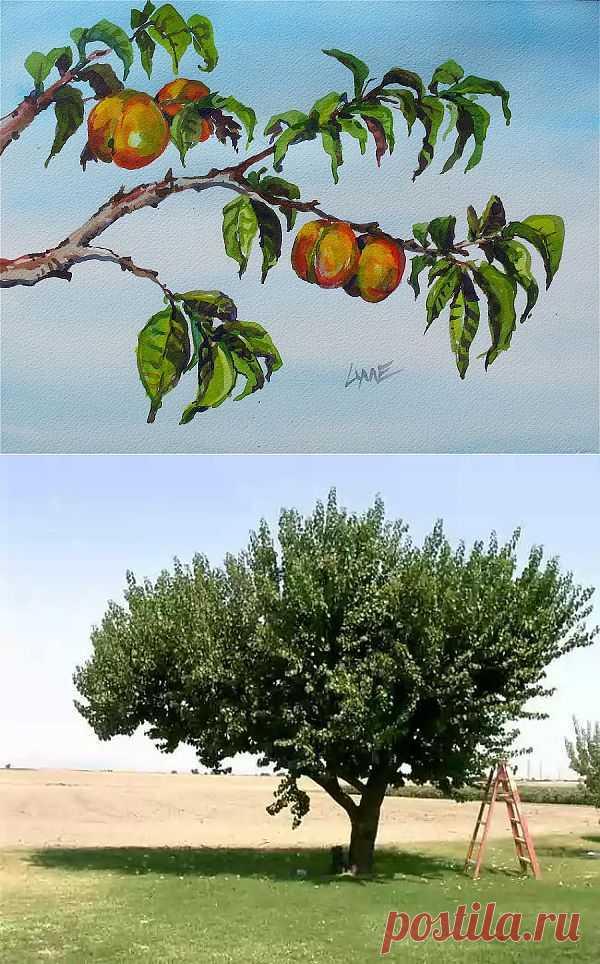 Уход за деревьями абрикоса в первый год после посадки.