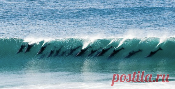 pack of dolphins in a wave crest