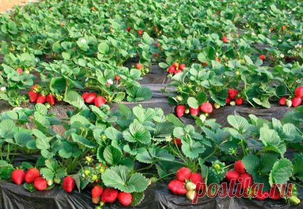Раскрываем секреты самой урожайной финской технологии для клубники