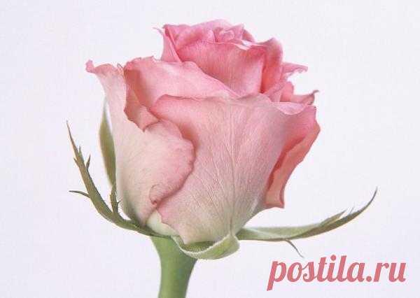 Роза в бутоне