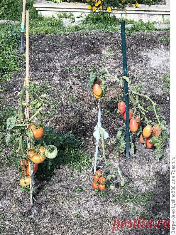 Почему стебли томата покрылись коричневыми пятнами? - ответы экспертов 7dach.ru
