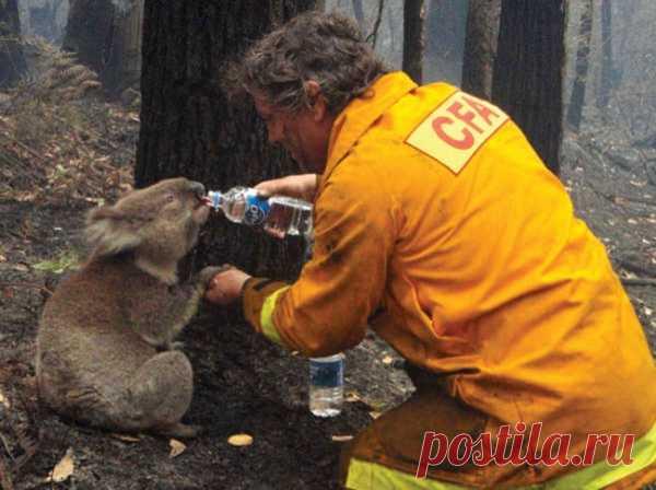 El bombero salva al koala de la sed durante los incendios de un bosque furiosos en Australia. Hacer el bien es agradable